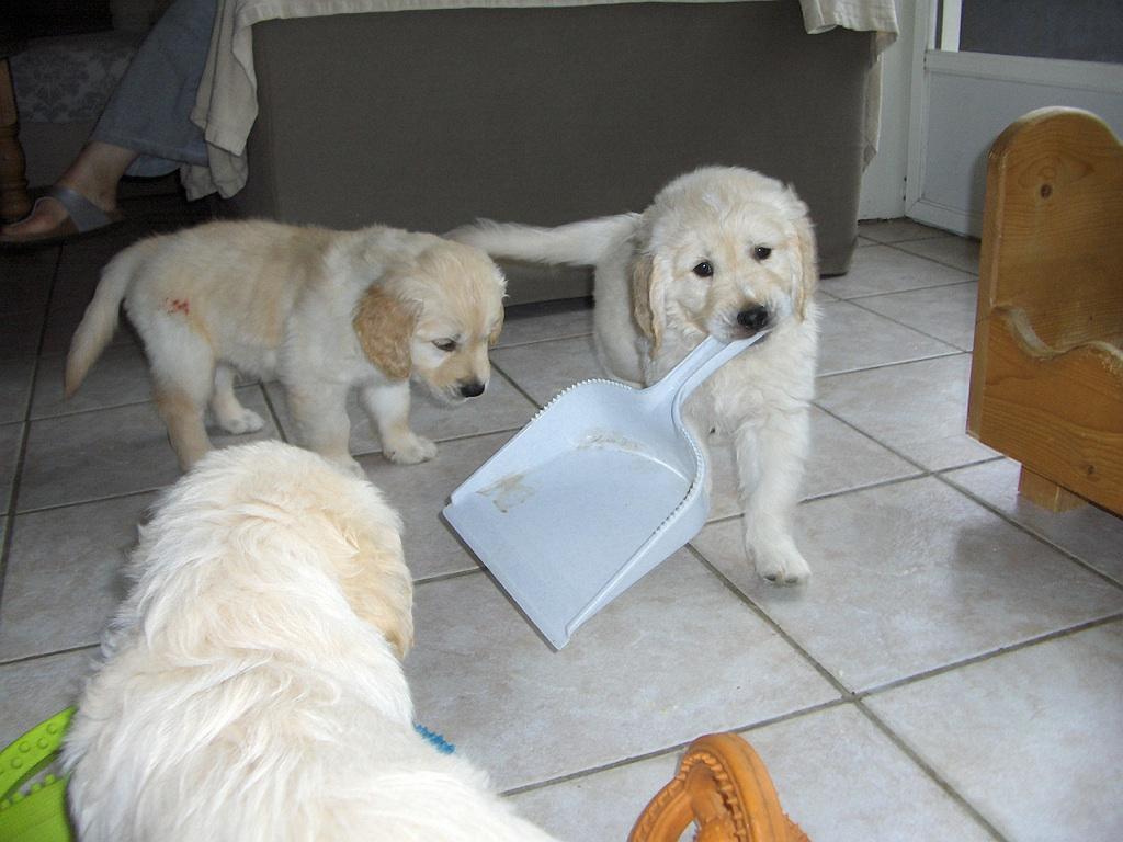 Puppys 7 weken