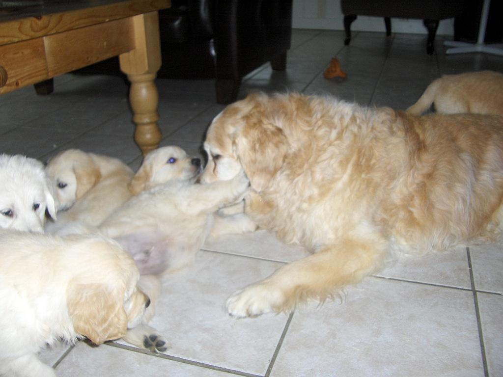 puppys 7 weken oud